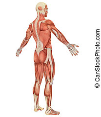 Male Muscular Anatomy Angled Rear View - A illustration of...