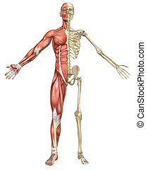 A front split view illustration of the male muscular skeleton anatomy. Very educational and detailed.
