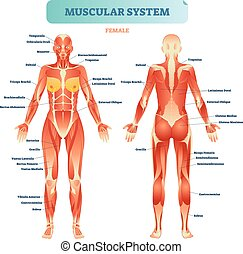 male muscular system, full anatomical body diagram with muscle scheme,  vector illustration educational poster