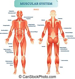 Male muscular system, full anatomical body diagram with ...