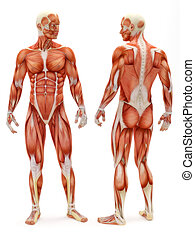 Male musculoskeletal system front and back isolated on a white background . Part of a muscle medical series.