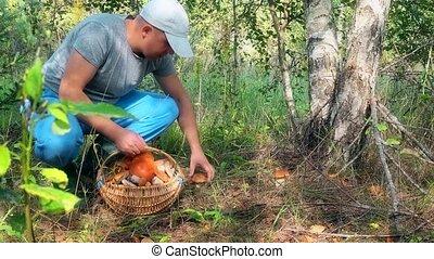 Male mushroom picker picking mushrooms and putting them to full basket