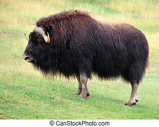 Male musk ox in the prairie