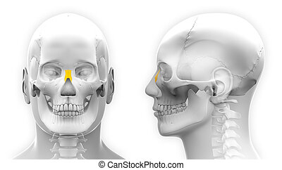 Male Nasal Bone Skull Anatomy - isolated on white