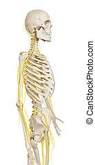 Male nerve system - 3d rendered illustration - male nerve...