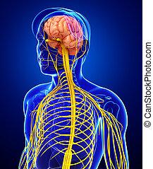 Male nervous system artwork - Illustration of Male nervous...