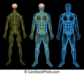 Male nervous system - Illustration of the male nervous...