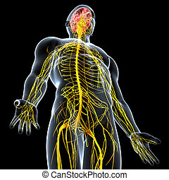Male nervous system with brain - 3d rendered illustration of...