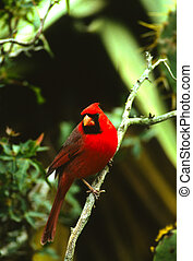 Male Northern Cardinal - a bright red male northern cardinal