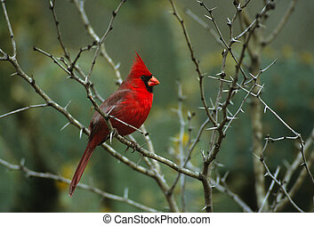 Male Northern Cardinal - a brilliant male northern cardinal