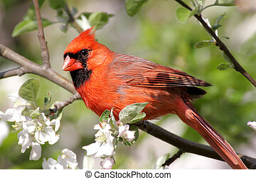 Male Northern Cardinal (cardinalis cardinalis) in an Apple Tree with blossoms