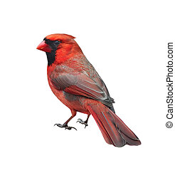 Male northern cardinal, Cardinalis cardinalis, isolated on ...