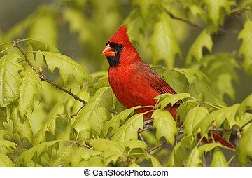 Male Northern Cardinal (Cardinalis cardinalis) perched in an...