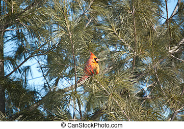 Male Northern Cardinal in a Tree