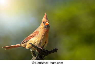 Male Northern Cardinal in an Oak tree in winter, Red Male Northern Cardinal Isolated Against Green Background, Northern Cardinal