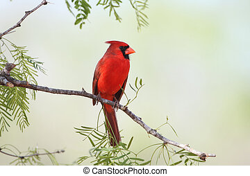 Male Northern Cardinal - Texas