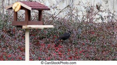 male of bird Common blackbird in garden - male of Common ...