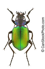 Calosoma sycophanta - Male of Calosoma sycophanta isolated ...