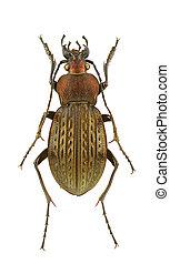 Carabus cancellatus - Male of Carabus cancellatus isolated ...