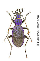 Carabus intricatus - Male of Carabus intricatus isolated on ...