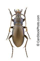 Carabus violaceus - Male of Carabus violaceus isolated on a ...