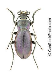 Carabus violaceus piceneus - Male of Carabus violaceus ...