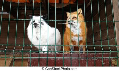 Male of common red Fox and female silver-black fox - Red Fox...