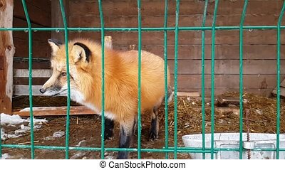 Male of common red Fox in public nursery - Red Fox in a...