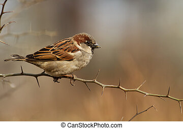 Passer domesticus - Male of House Sparrow, Passer domesticus...
