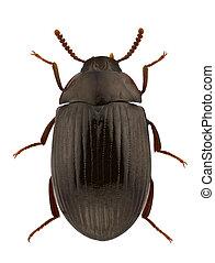 Male of Platydema dejeanii, darkling beetle, isolated on white background