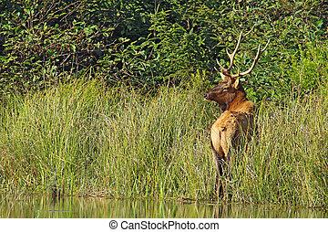 Male or bull Roosevelt elk (Cervus canadensis roosevelti) browsing on grasses near Fern Canyon in Prairie Creek Redwoods State Park, California