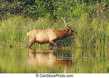 Male or bull Roosevelt elk (Cervus canadensis roosevelti) browsing on grasses on the edge of a pond near Fern Canyon in Prairie Creek Redwoods State Park, California