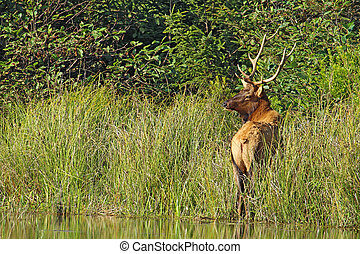 Male or bull Roosevelt elk (Cervus canadensis roosevelti)...