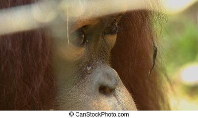 Male Orang-utan Eating, Orang Utan Island, KL