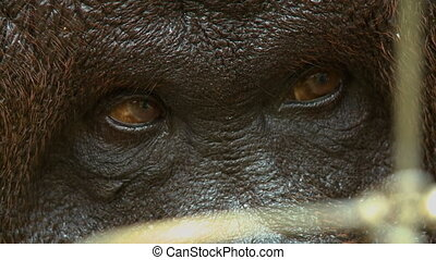 Close-up low-angle still shot of a large adult male orang-utan relaxing on a ground behind a wire-mesh protected conservation location, Orang Utan Island, Malaysia