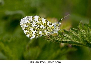 Male Orange Tip Butterfly, Anthocharis cardamines