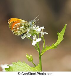 male orange-tip butterfly-macro