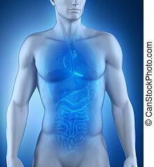 Male organs anatomy