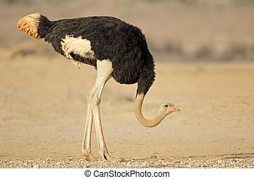 Male ostrich in natural habitat