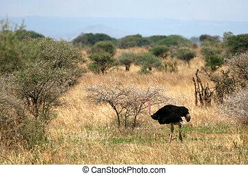 Male Ostrich in Tarangire National Park. Africa - Ostrich -...