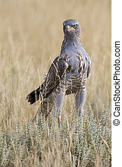 Male Pale Chanting Goshawk hunting for food on the ground in Kalahari