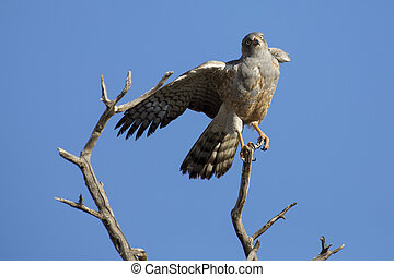 Male Pale Chanting Goshawk jumping in a tree against blue Kalahari sky