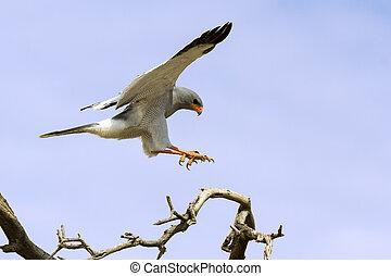 Male Pale Chanting Goshawk jumping in a tree against blue Kalahari sky