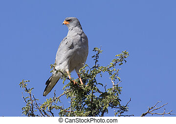 Male Pale Chanting Goshawk sitting in a tree against blue Kalahari sky