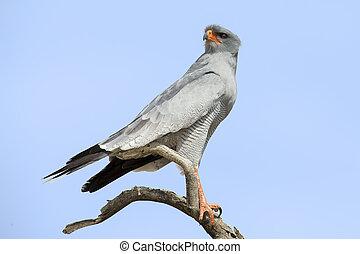 Male Pale Chanting Goshawk sitting in a tree against blue Kalahari sky