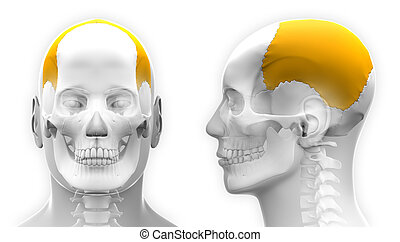 Male Parietal Bone Skull Anatomy - isolated on white