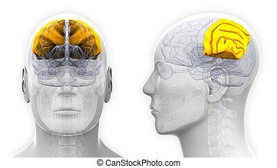 Male Parietal Lobe Brain Anatomy - isolated on white