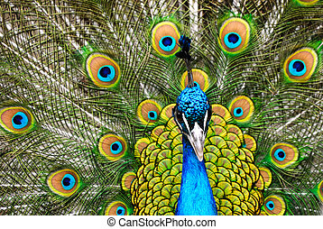 male peacock - beautiful male indian peacock showing its...