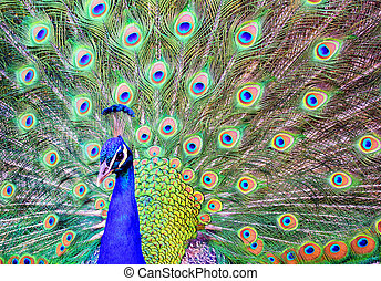 Male peacock with a spread out plumage tail - The blue head...