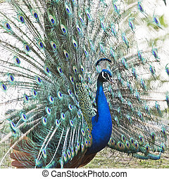 Male peafowl displaying tail feathers - A male peafowl ...
